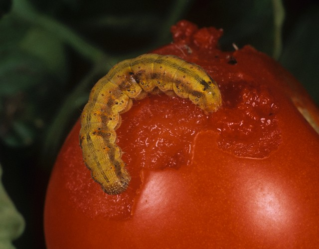 Tomato Fruitworm (Helicoverpa armigera) caterpillar colored orange from feeding on a Tomato fruit